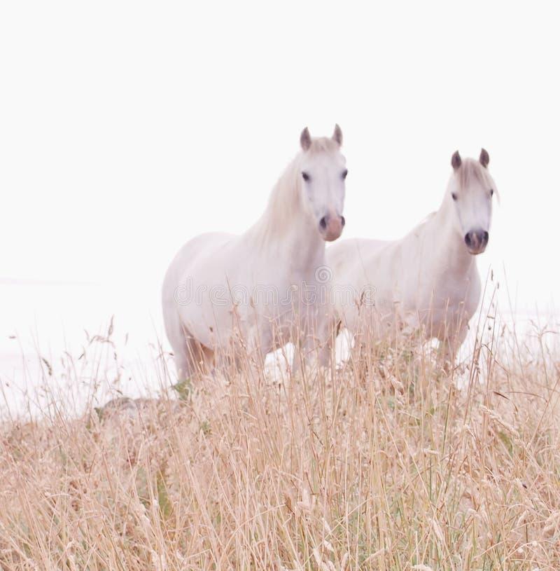 Biali konie w miękkiej ostrości