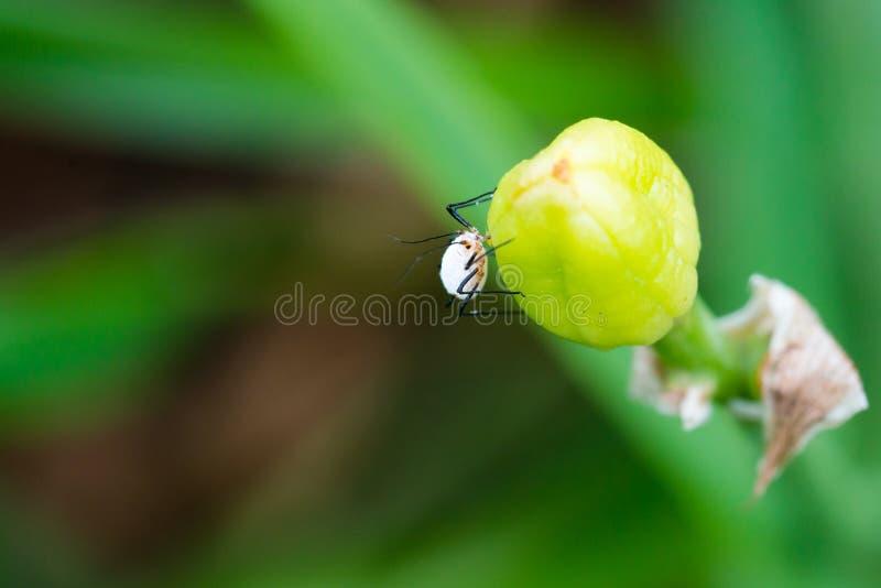Biali korówka insekty ssa aproszę na pączku obrazy stock