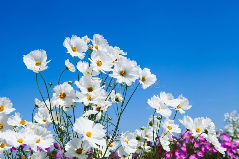 Biali kosmosy kwitną i niebieskie niebo w ogródzie obraz stock