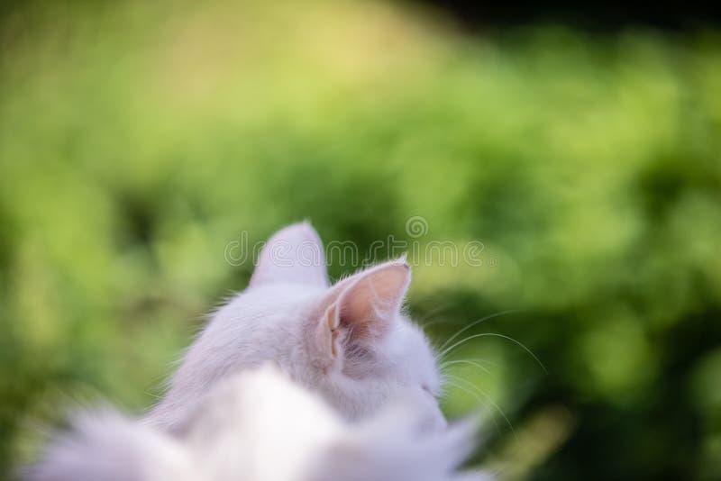 Biali kotów ucho na zamazanym trawy tle z pięknym bokeh fotografia stock