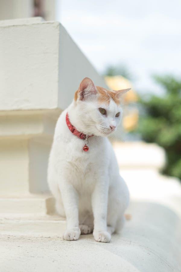 Biali koty żyją przy świątynią obrazy stock