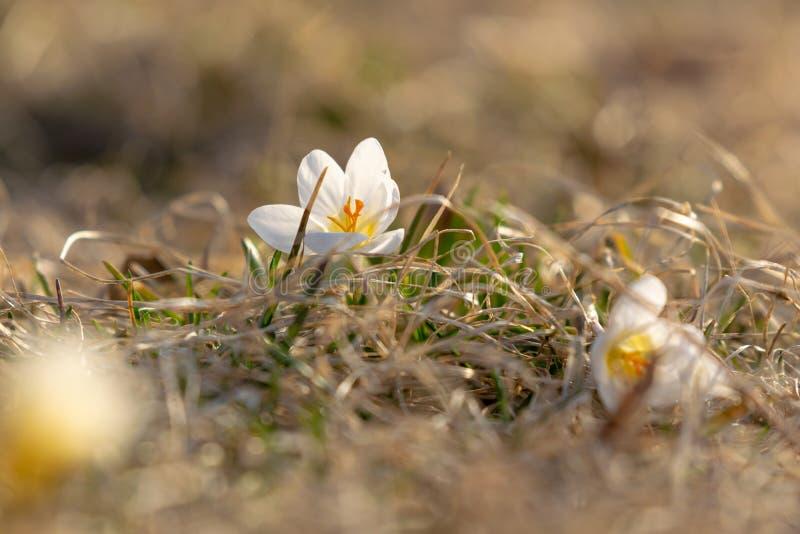 Biali krokusy, kwitnie w wczesnej wiośnie, przeciw ładnemu bokeh tłu, zbliżenie obrazy royalty free