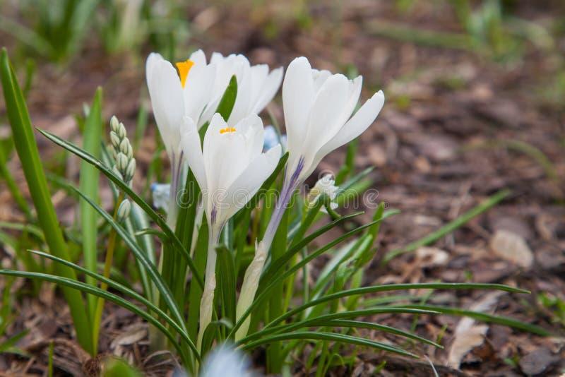 Biali krokusy w polanie z obraz stock