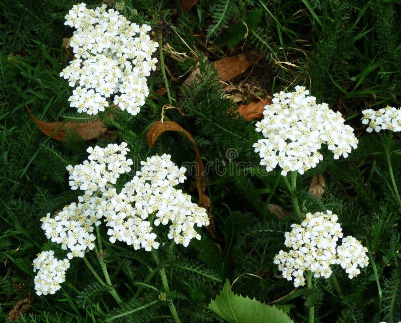 Biali krwawników kwiaty Millefolium lub Achillea fotografia royalty free