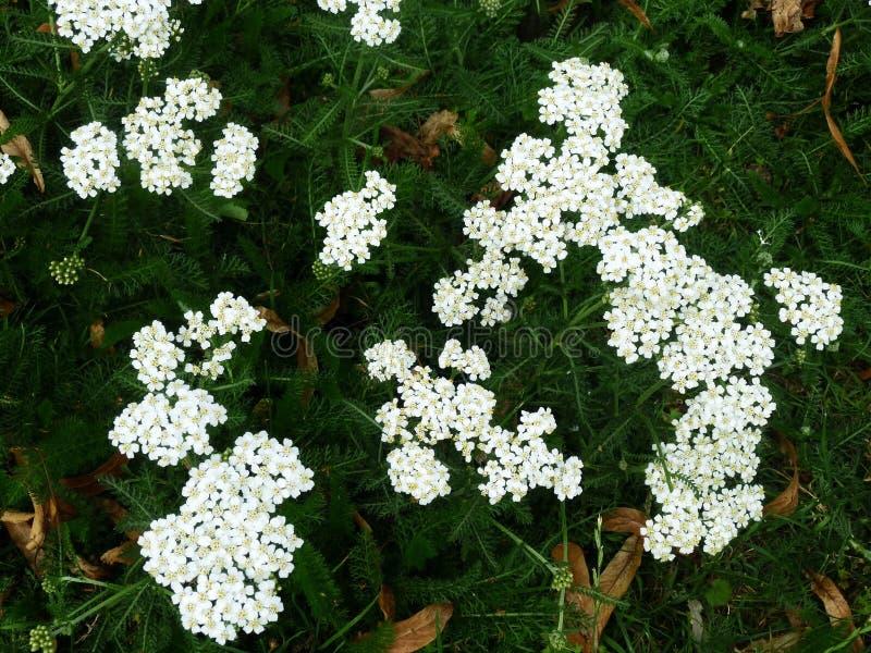 Biali krwawników kwiaty Millefolium lub Achillea zdjęcie stock