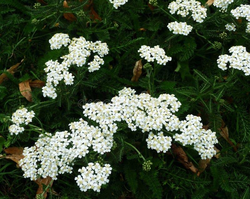 Biali krwawników kwiaty Millefolium lub Achillea fotografia stock