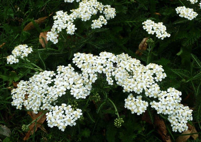 Biali krwawników kwiaty Millefolium lub Achillea zdjęcia stock