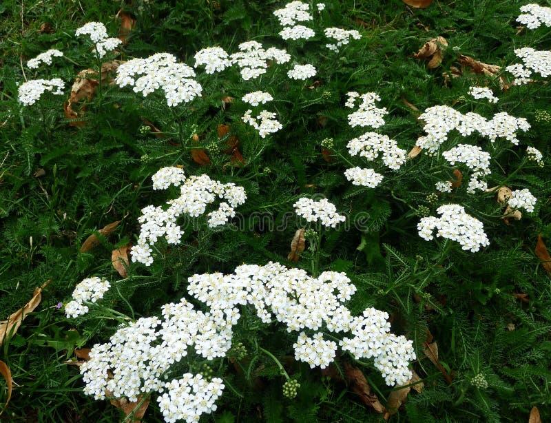 Biali krwawników kwiaty Millefolium lub Achillea obraz royalty free