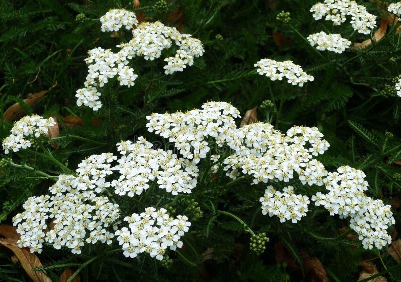 Biali krwawników kwiaty Millefolium lub Achillea zdjęcie royalty free