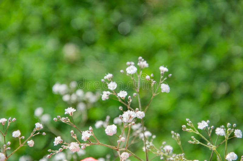 Biali kwiaty łyszczec na zielonym bokeh tle zdjęcia royalty free
