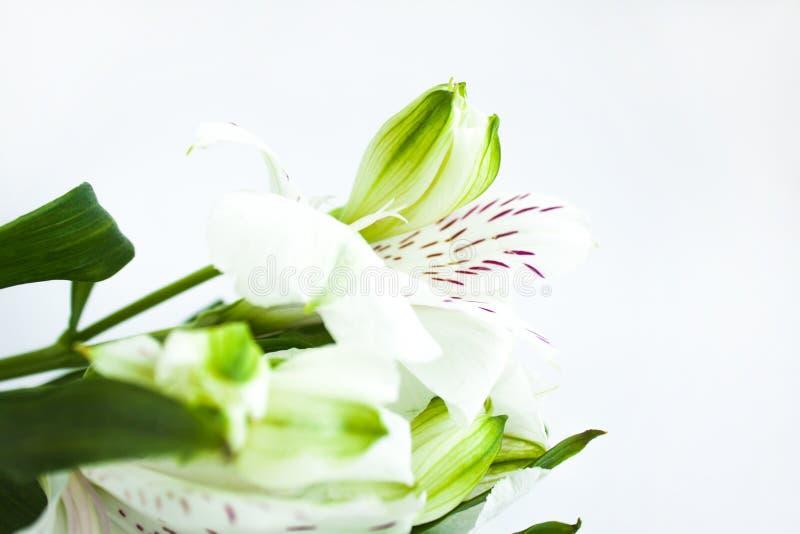 Biali kwiaty, bukiet alstroemeria kwitną, Peruwiańskie leluje Bia?y t?o, kopii przestrze? obraz stock