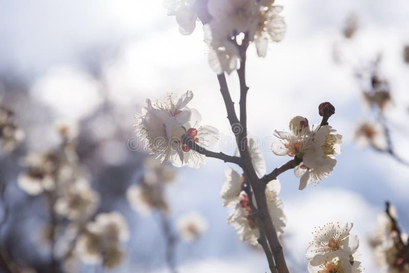 Biali kwiaty Czereśniowy Śliwkowy drzewo, selekcyjna ostrość, Japan kwiat, piękna pojęcie, Japoński zdroju pojęcie zdjęcia royalty free