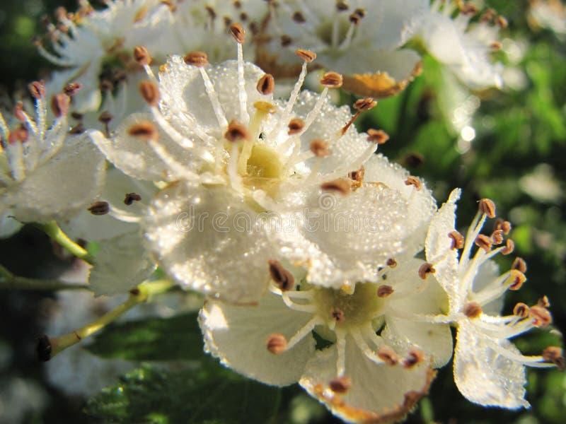 Biali kwiaty czereśniowy drewno w kroplach bawić się ranek rosa w słońcu Makro- fotografia przyroda Wiosny szczęśliwa atmosfera zdjęcia royalty free