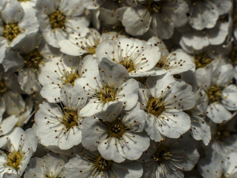 biali kwiaty czereśniowy okwitnięcie fotografia stock