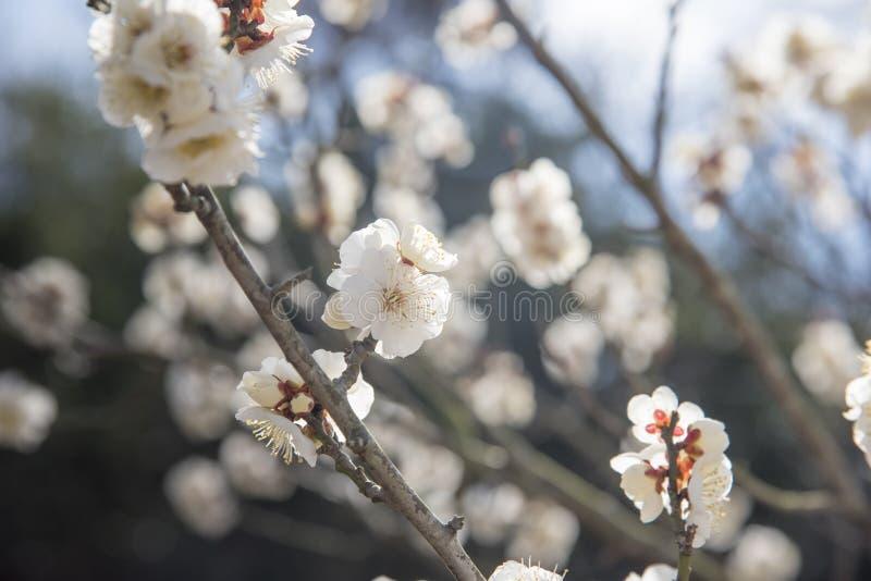 Biali kwiaty Czere?niowy ?liwkowy drzewo, selekcyjna ostro??, Japan kwiat, pi?kna poj?cie, zdroju poj?cie fotografia royalty free