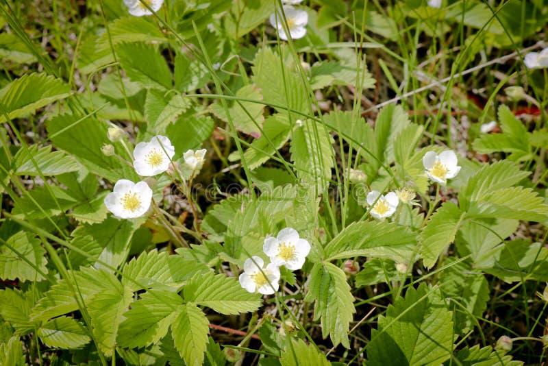 Biali kwiaty dzicy łąkowi truskawkowi Fragaria viridis Kwiaty truskawkowa roślina zdjęcie royalty free