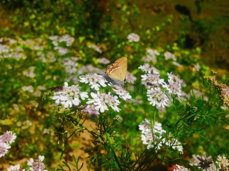 Biali kwiaty i motyle obraz stock