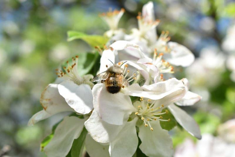 Biali kwiaty i pszczoła obrazy royalty free