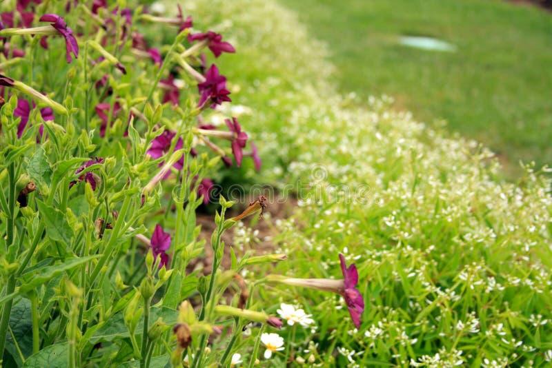 Biali kwiaty i purpur trąbki w ogródzie obraz stock