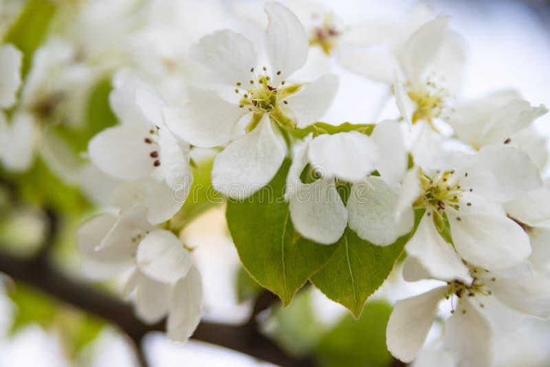 Biali kwiaty jabłoń w górę zamazanego tła dalej fotografia royalty free
