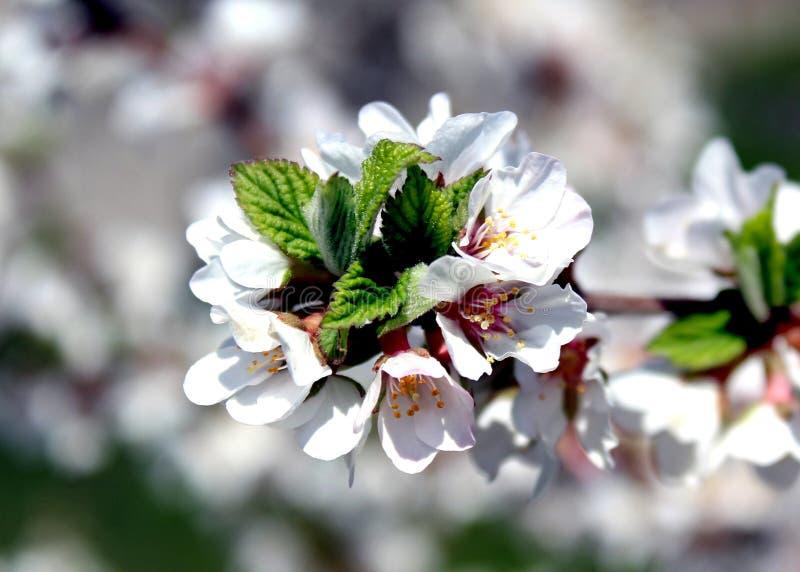 Biali kwiaty jabłoń w wiośnie obraz stock
