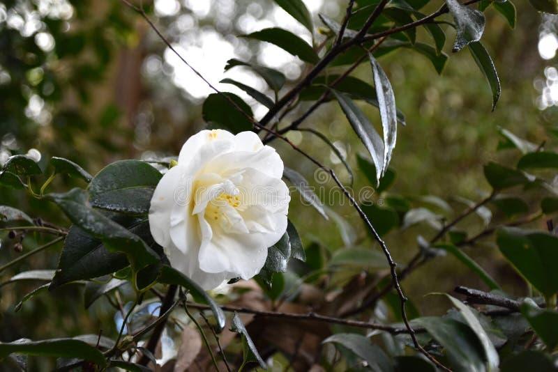 Biali kwiaty - kamelia zdjęcia royalty free