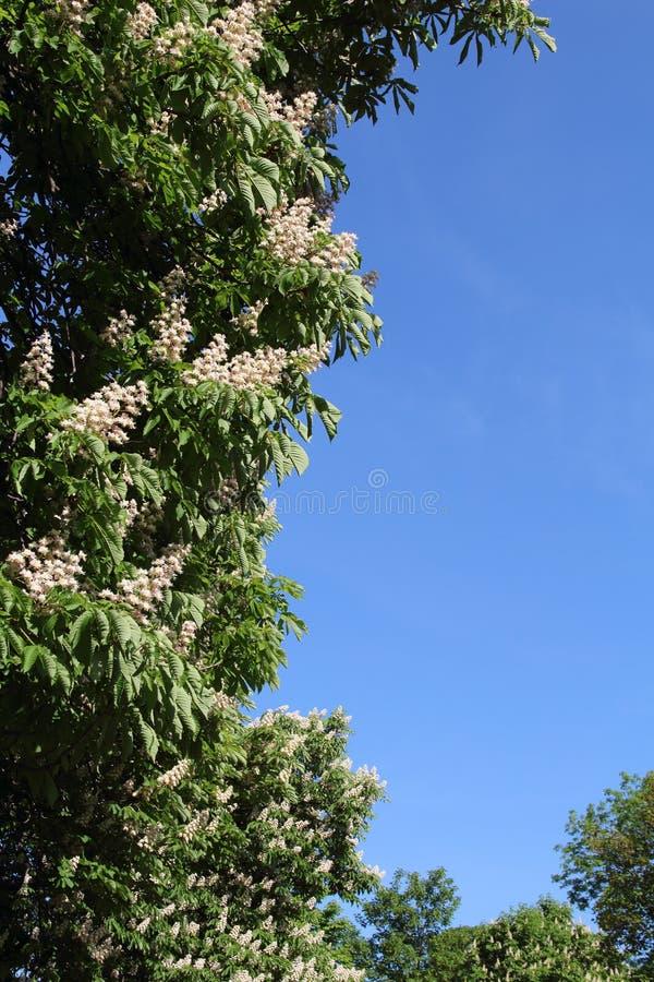 Biali kwiaty kasztany z niebieskim niebem zdjęcia royalty free