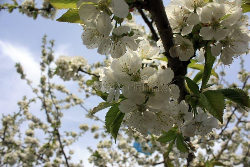 Biali kwiaty kwitnie owocowych drzewa w wiośnie z w górę zamazanego tła zdjęcie stock