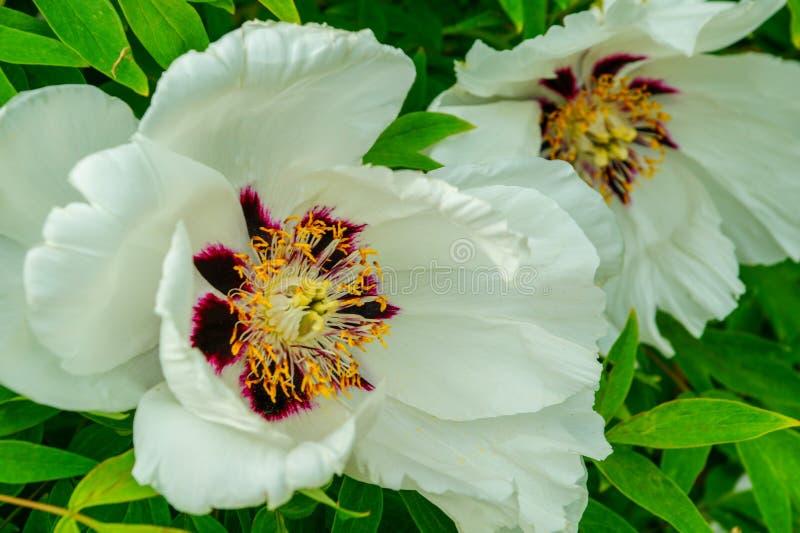 Biali kwiaty kwitnie w ogr?dzie t?a kwiatu peoni biel Multicolor peoni zbli?enia makro- t?o fotografia royalty free