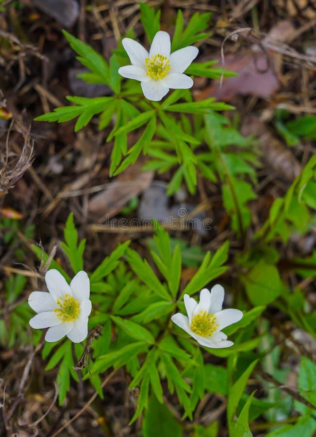 Biali kwiaty lasowy anemon w wczesnej wiośnie w lesie obrazy stock