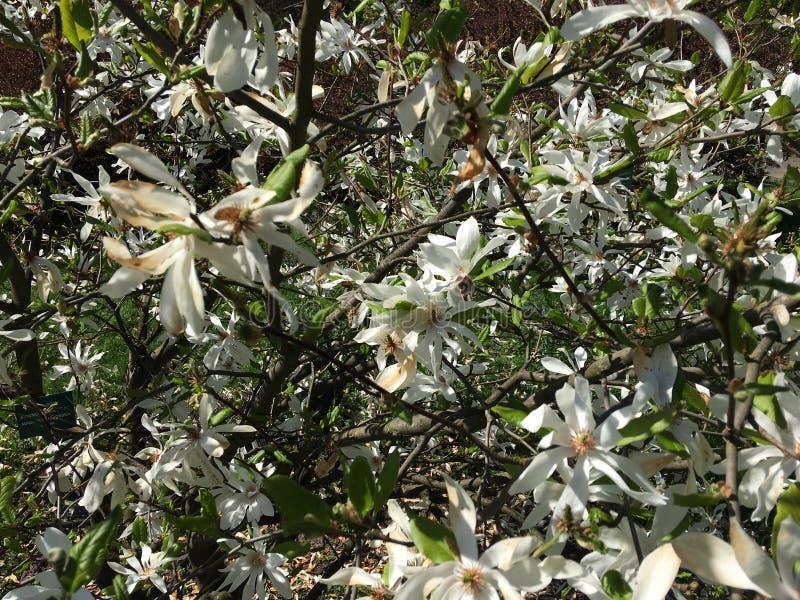 Biali kwiaty na gałąź Magnoliowy drzewny Magnoliaceae, Magnoliowy Kobus DC zdjęcie royalty free