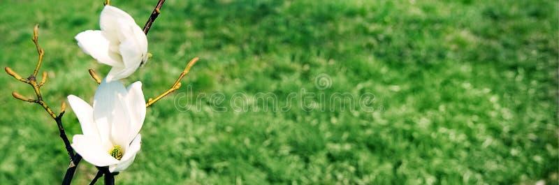 Biali kwiaty na zielonej trawy tle obrazy stock