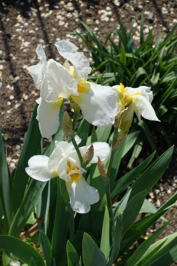 Biali kwiaty Niemiecki irys fotografia royalty free