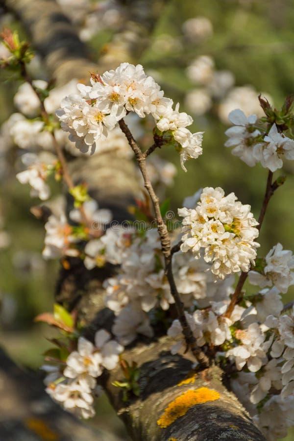 Biali kwiaty owocowy drzewo na gałąź obrazy royalty free