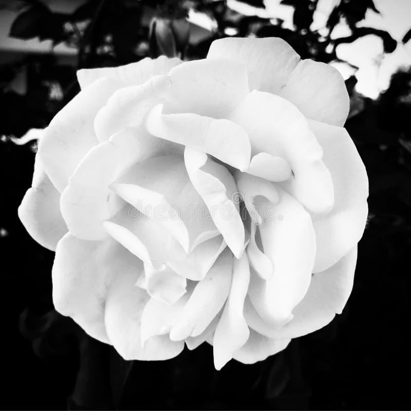 Biali kwiaty w czarnym tle obrazy stock