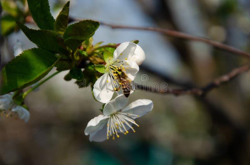 Biali kwiaty w makro- Kwiatono?ni drzewa Pszczo?a na bia?ym kwiacie zdjęcie royalty free