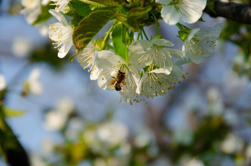 Biali kwiaty w makro- Kwiatono?ni drzewa Pszczo?a na bia?ym kwiacie fotografia royalty free