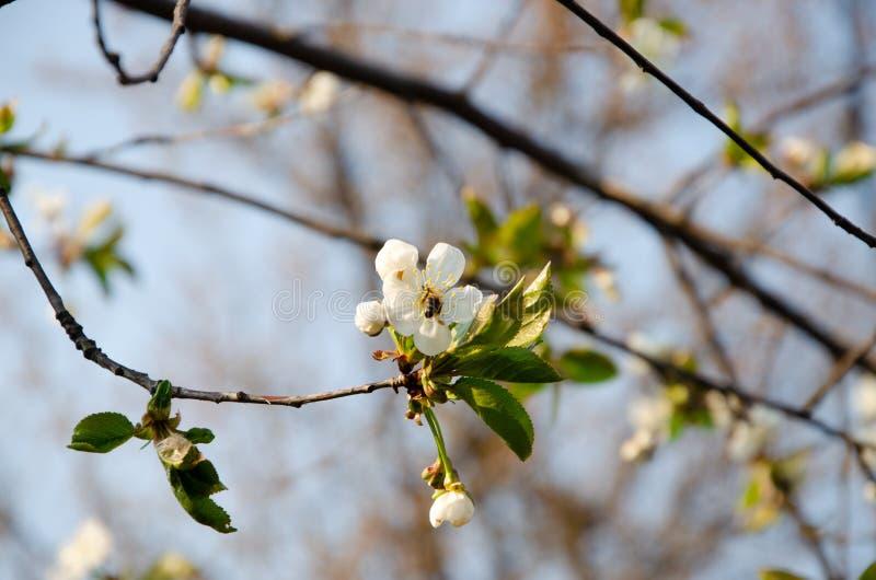 Biali kwiaty w makro- Kwiatono?ni drzewa Pszczo?a na bia?ym kwiacie obraz stock