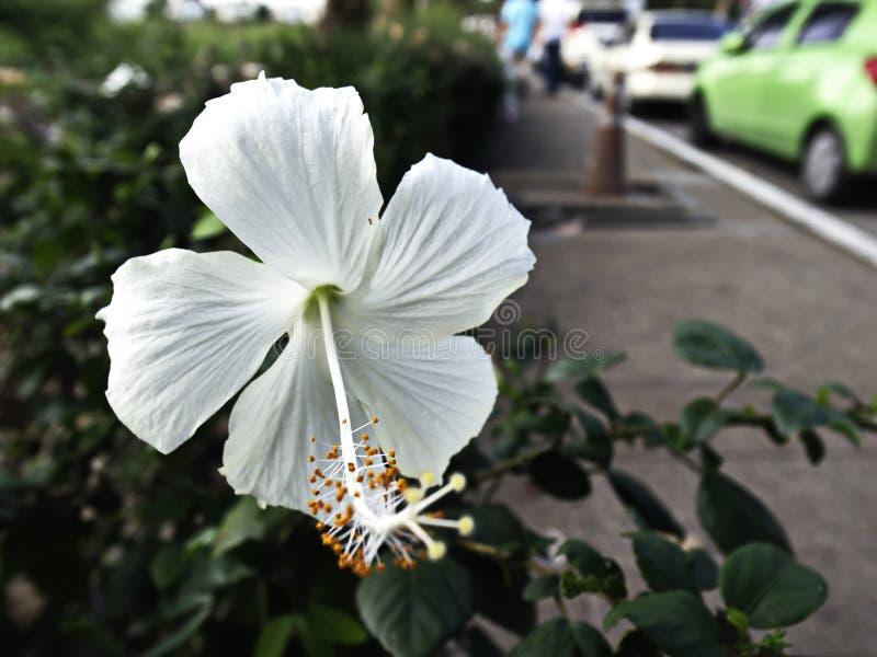 Biali kwiaty w Thailand zdjęcie royalty free