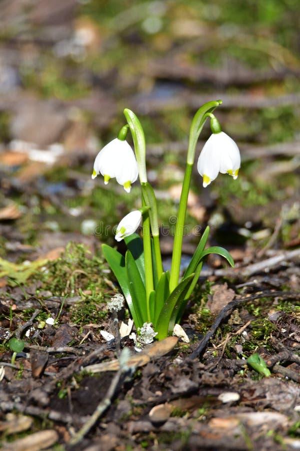 Biali kwiaty w wczesnej wiośnie fotografia royalty free