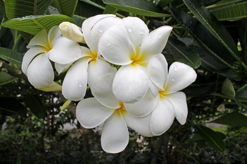 Biali kwiaty w zielonych naturalnych tło obraz royalty free