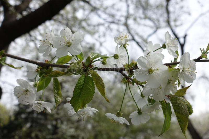 Biali kwiaty wiśnia z szypułami fotografia stock