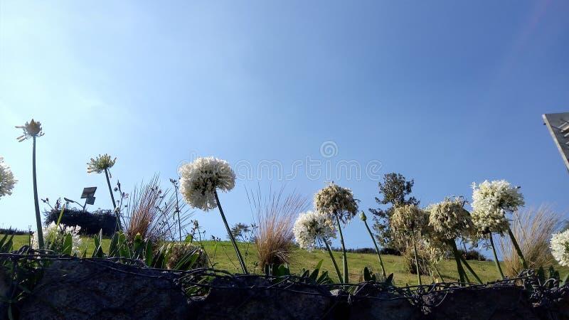 biali kwiaty z cienkimi płatkami przeciw światłu zdjęcie royalty free