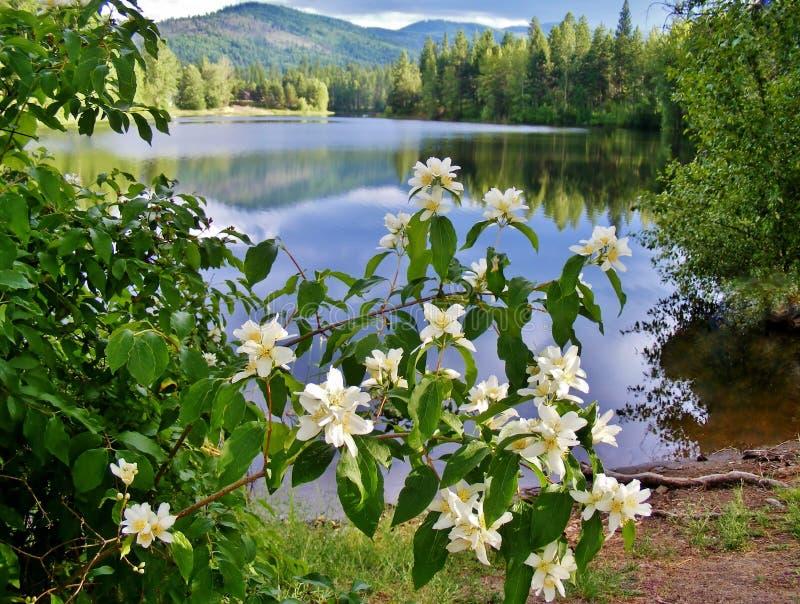 BIALI kwiaty Z DOSYĆ ODBIJAJĄCYM jeziorem W tle obraz royalty free