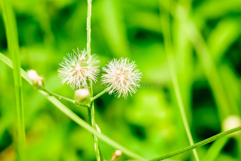 Biali kwiaty z trawy tłem obrazy stock
