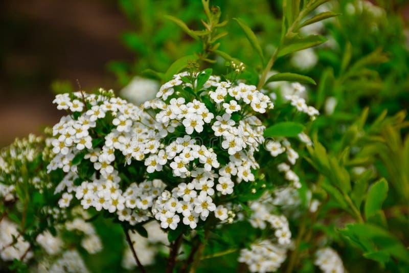 Biali kwiaty zamknięci w górę spirea zdjęcia stock