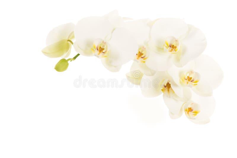 Biali kwitnący orchidea kwiaty obrazy royalty free