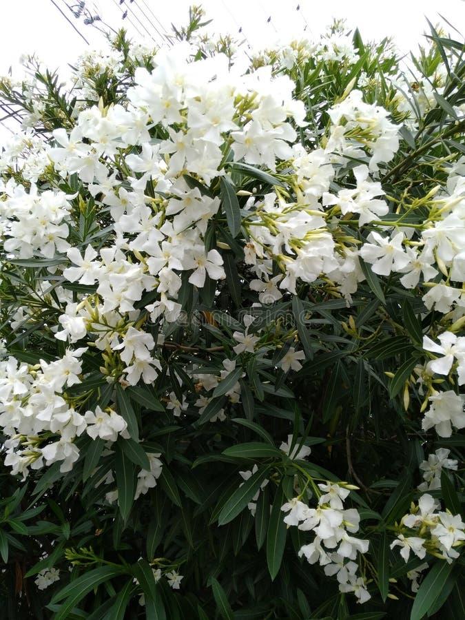Biali lato kwiaty obraz royalty free