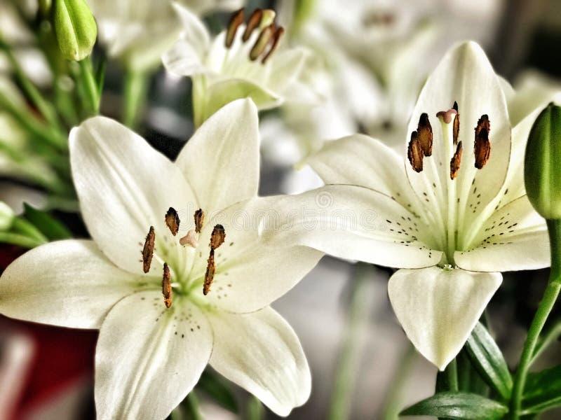 Biali Lillie kwiaty fotografia royalty free