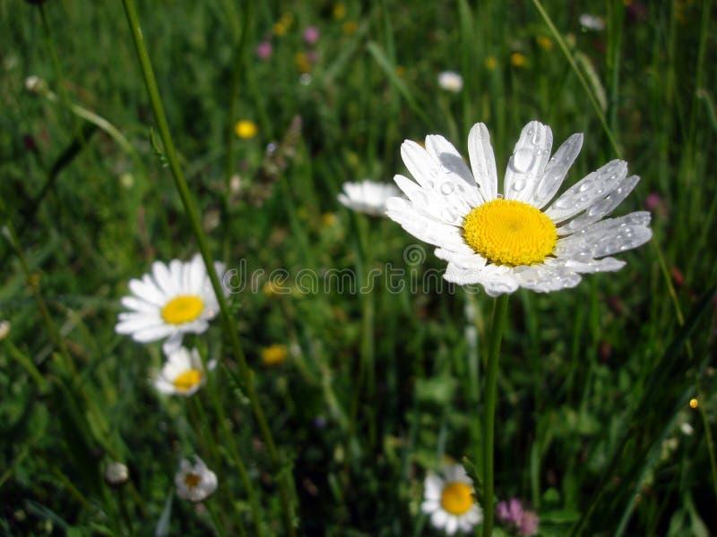Biali margaritas po podeszczowego kwiatu w wiośnie obraz stock